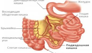 Кишечник человека: строение и функции органа