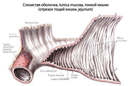 Slizistaja-obolochka-tonkoj-kishki