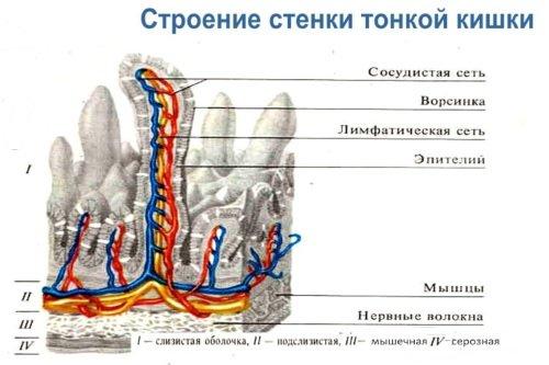 Stroenie-stenki-tonkoj-kishki