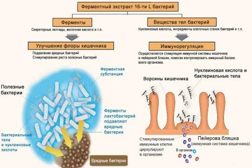 Funkcii-laktobakterij