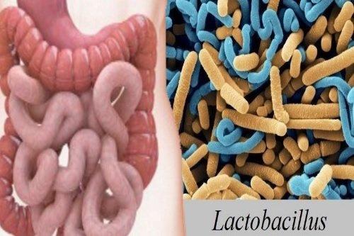 Laktobakterii-kishechnika