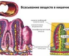 Vsasyvanie-veshhestv-v-kishechnike
