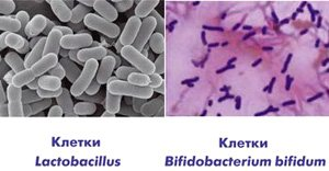 Бифидо- и лактобактерии под микроскопом