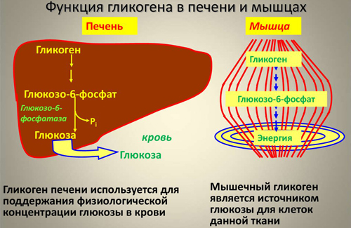 Метаболизм гликогена