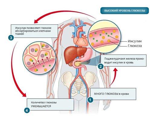 Выработка и действие инсулина