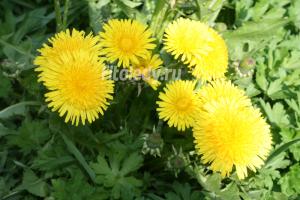 Травы для лечения заболеваний желудка: выбор и использование лекарственных растений